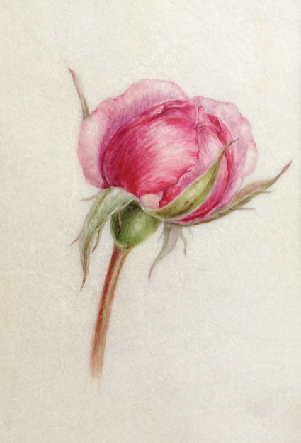pink rose bud on vellum
