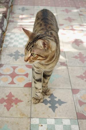 a Hemingway Cat