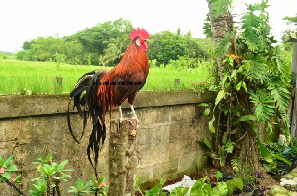 Jual Ayam Hias Onagadori | Jual Ayam Hias Yogyakarta
