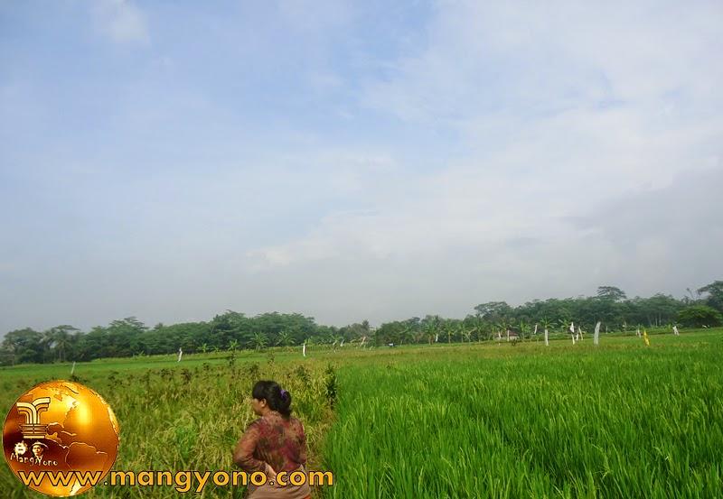 FOTO: Sebelah kiri yaitu tanaman padi tetangga, sebelah kanan tanaman padi Kami.