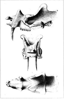 Uintatherium skull