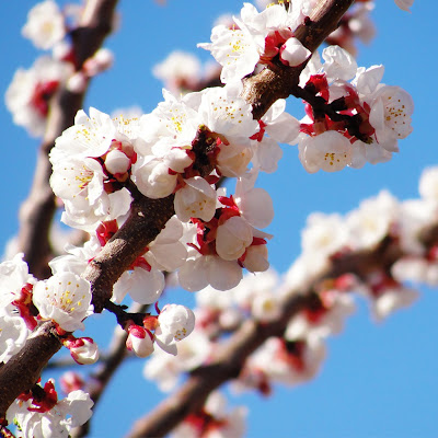 Spring bloom download free wallpapers for Apple iPad