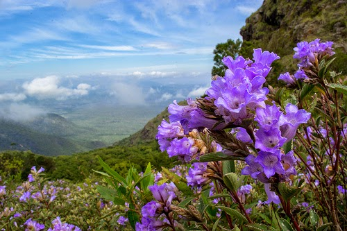 Neelakurinji adds colour to Munnar hills