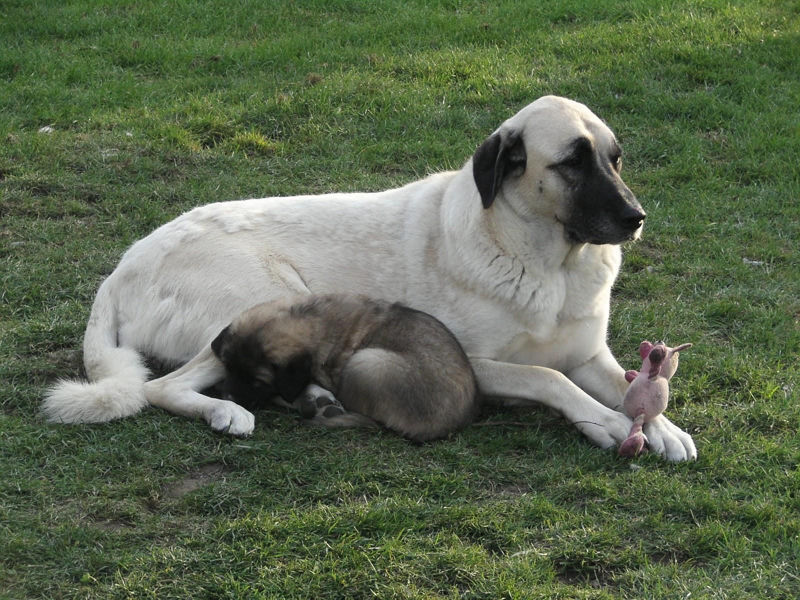 Asalet Anatolian Shepherd Dogs Home of the Turkish Kangal ...