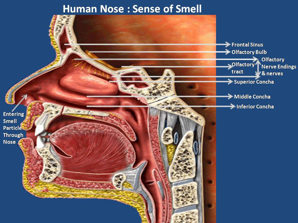 human senses The commonly held human senses are as follows: sight: this technically is two senses given the two distinct types of receptors present, one for color (cones) and one for brightness (rods.