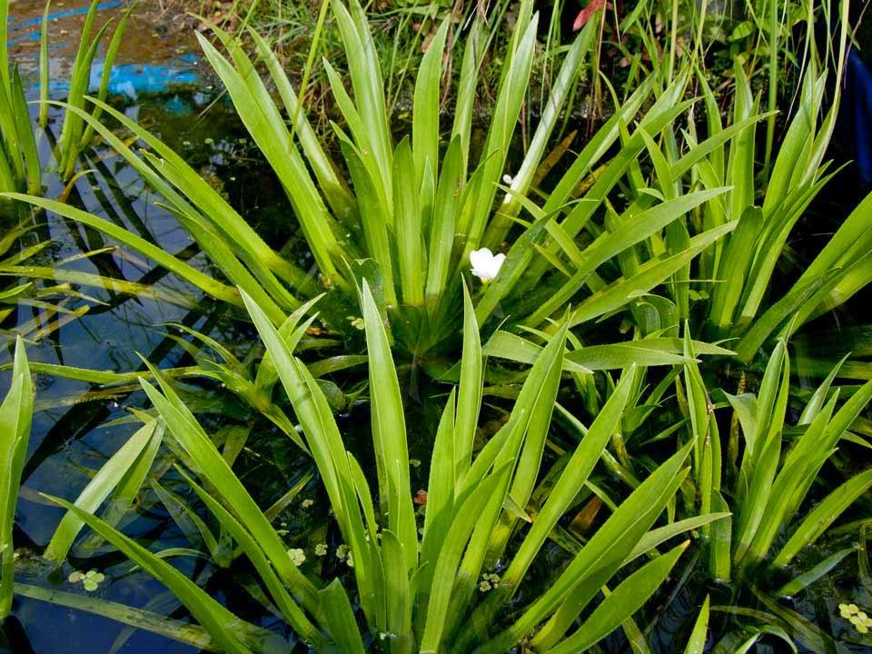Vandens augalai tvenkiniui