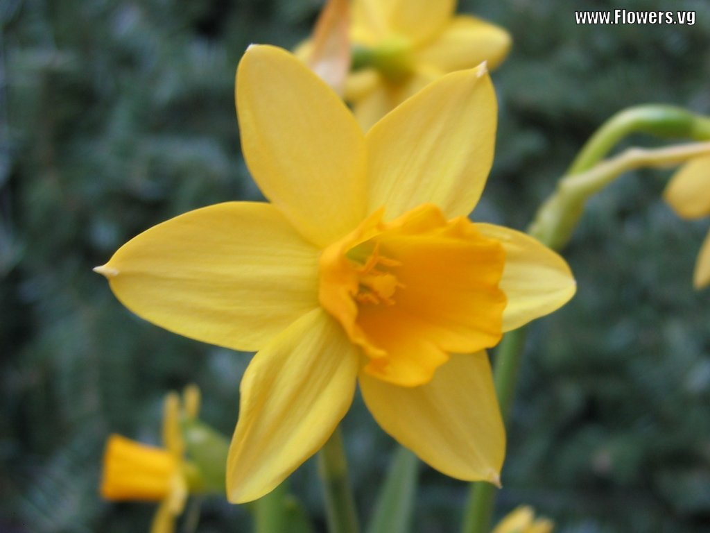 to daffodils Daffodil is a common name for a family of plants called narcissus daffodils are bright and fragrant flowers that bloom in the spring the daffodil has a bulb that grows underground and looks like an onion, which is why the two can be mistaken for each other.