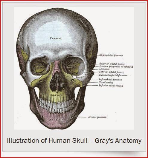 Illustration of Human Skull Gray's Anatomy