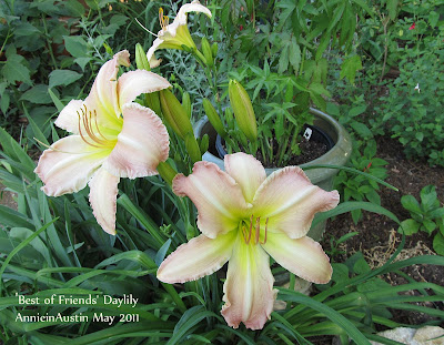 Annieinaustin,Best of friends daylily