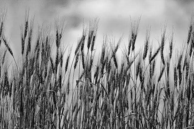 Barley monochrome