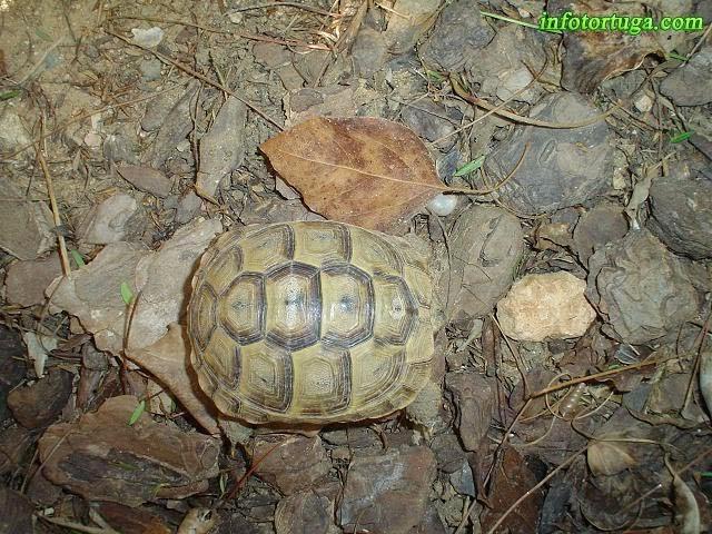 Caucasian tortoise, Testudo graeca ibera