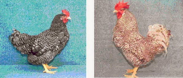 Полтавская кукушечная порода кур