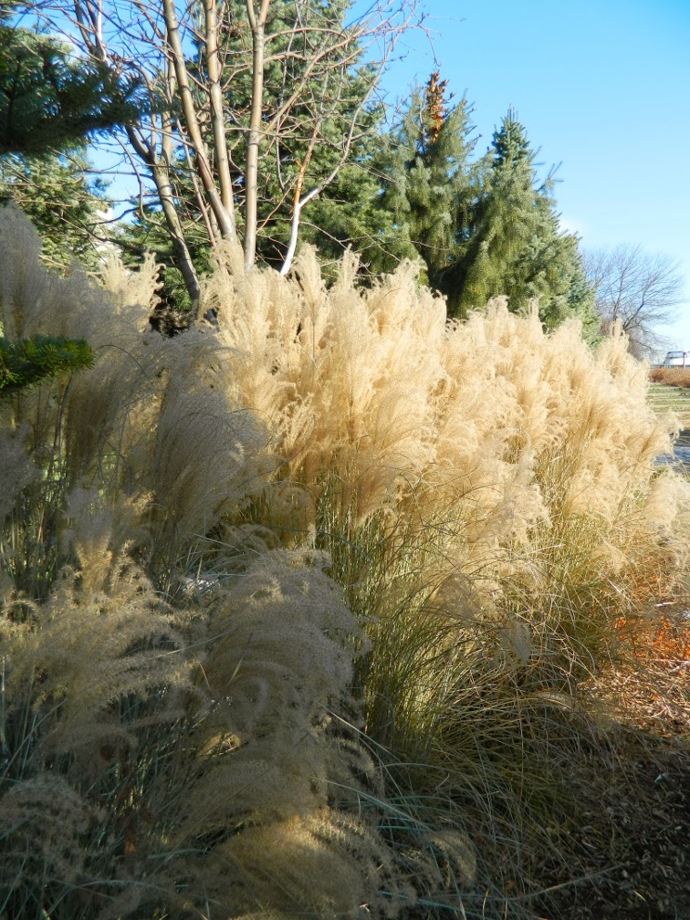Toronto Music Garden winter ornamental grasses Courante section by garden muses-a Toronto gardening blog