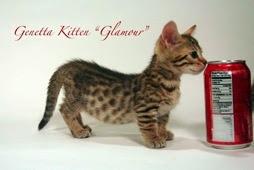 Daftar Kucing Peliharaan Yang Bermotif Macan Tutul
