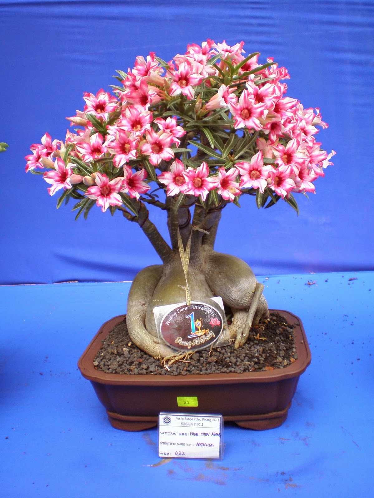 Desert Rose Plant Adenium Bonsai