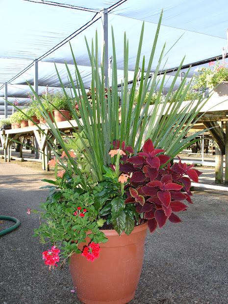 ozbreed plant spotlight drought