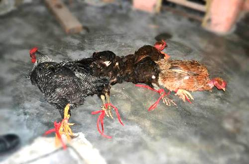 Jovem de 23 anos é morto na noite de terça-feira (15/01) ao tentar recuperar galinhas de ladrão.