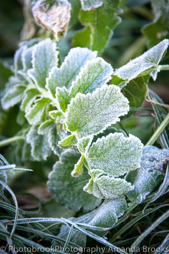 Photographs of frost on plants