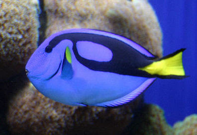 Blue Tang DoryWhat Type Of Fish Is Dory