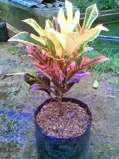 pohon puring jet tanaman hias