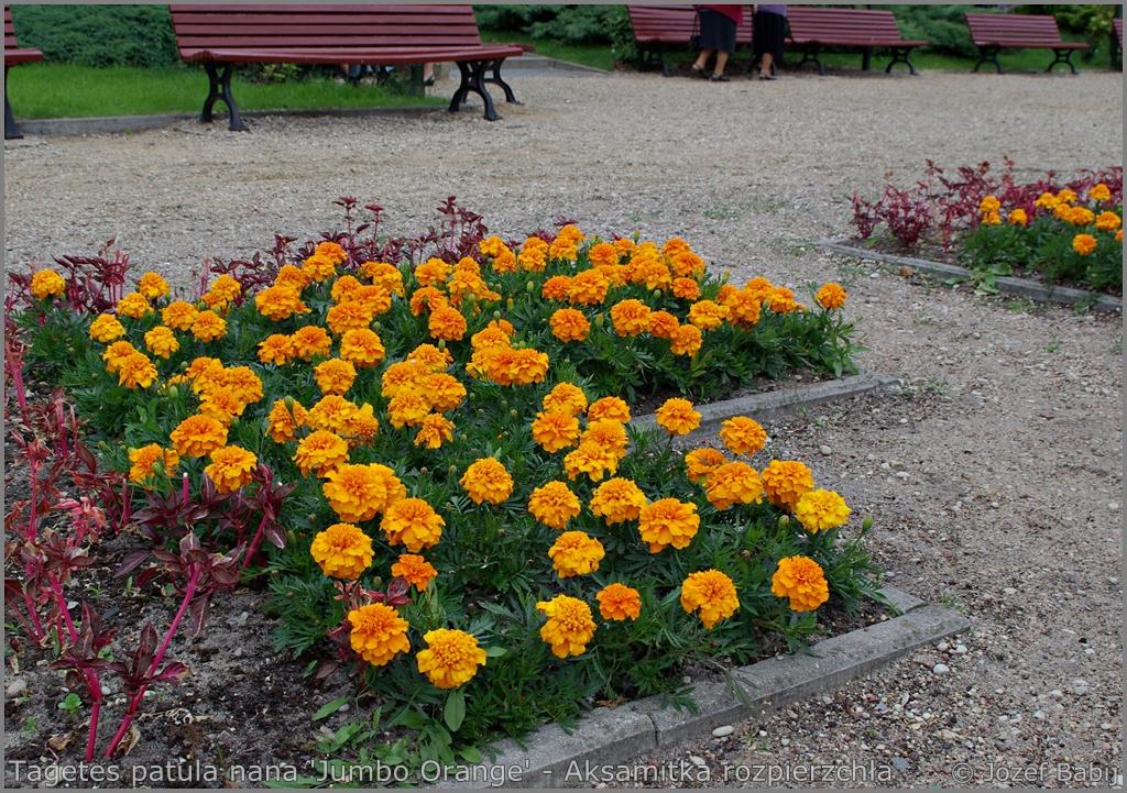 Tagetes patula nana 'Jumbo Orange' - Aksamitka rozpierzchła 'Jumbo Orange'