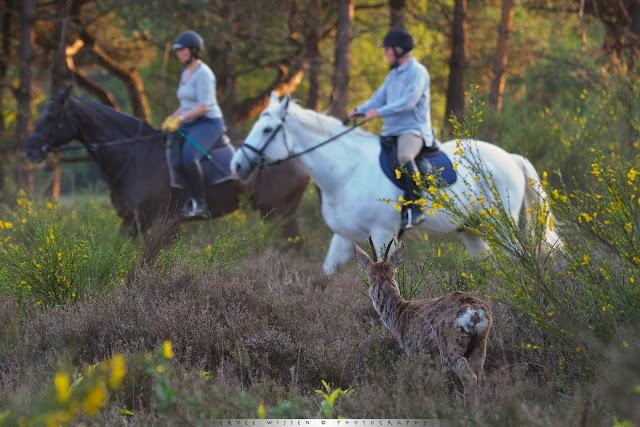 Van paarden schrikken Reeën niet - horses don' t startle Roe Deer