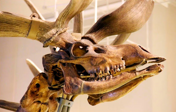 Giant 'Irish Elk' survived in Siberia 2,000 years after presumed  'extinction'