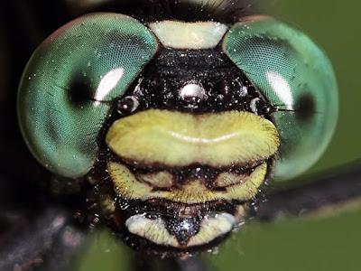 Cobra Clubtail Macro