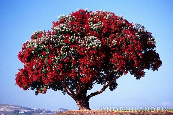 el rbol de navidad de nueva zelanda