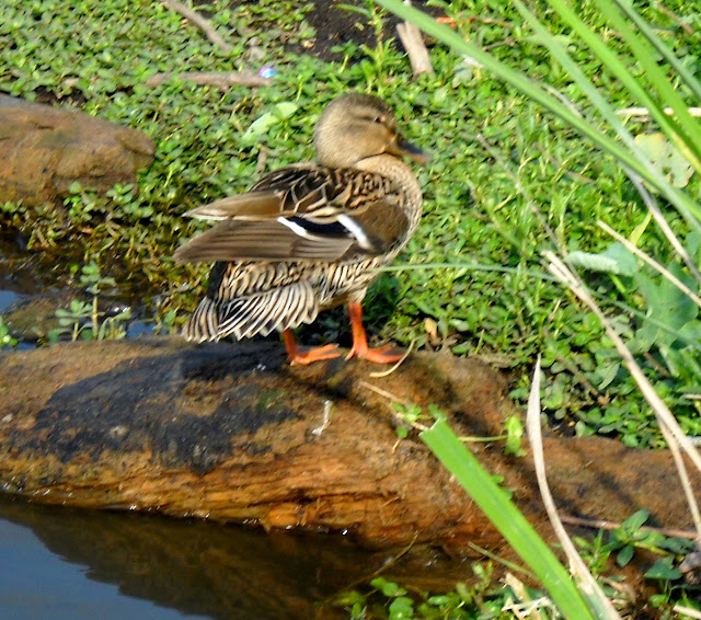A Mallard hen has dull, brown feathers used as camouflage