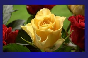 mawar_kuning40802