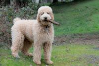 Wilson my Spoo....Standard Poodle!