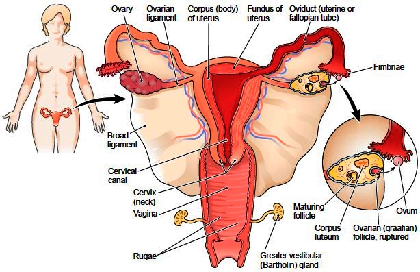 Oviducts female reproductive system |Genetic Engineering Info