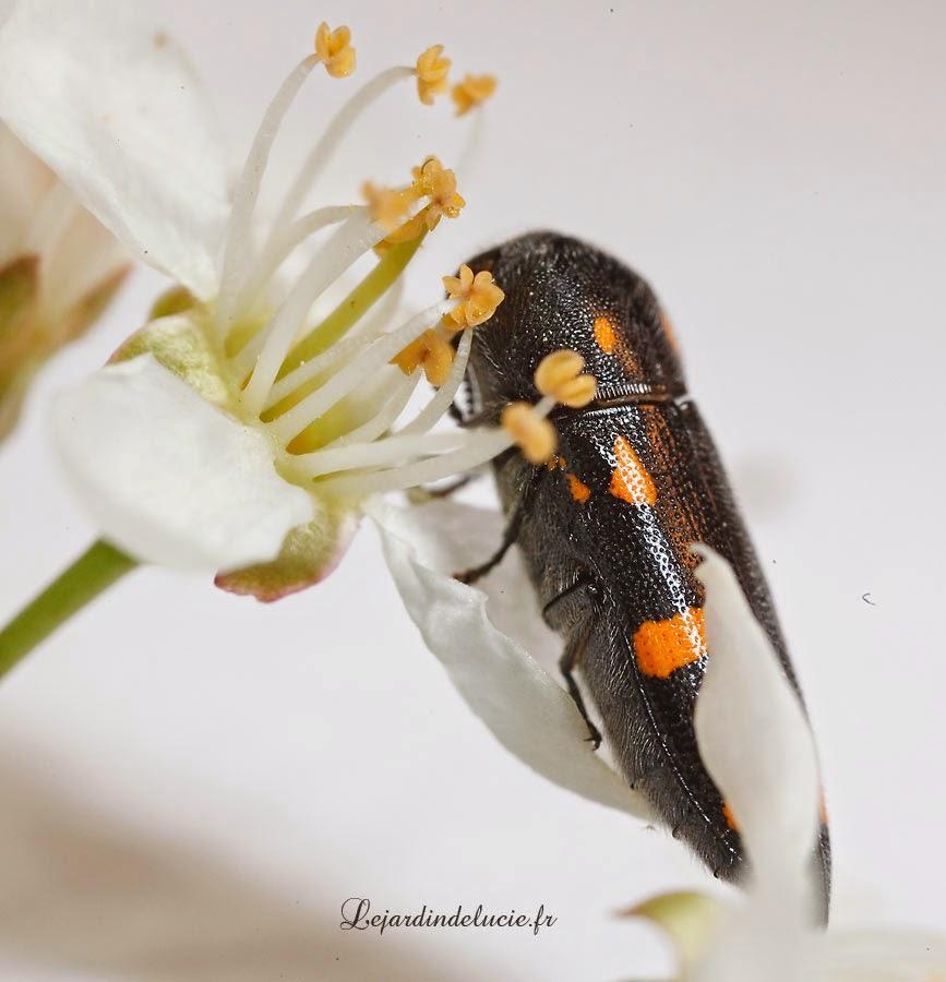 Ptosima undecemmaculata bupreste noir avec onze taches - Tache de javel sur tissu noir ...
