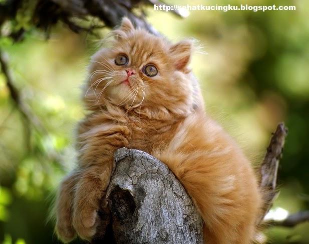 jenis-jenis kucing peliharaan, jenis kucing persia, kucing persia, kucing peliharaan terbaik