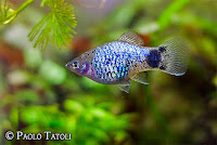 Platka - ryby akwariowe - 2