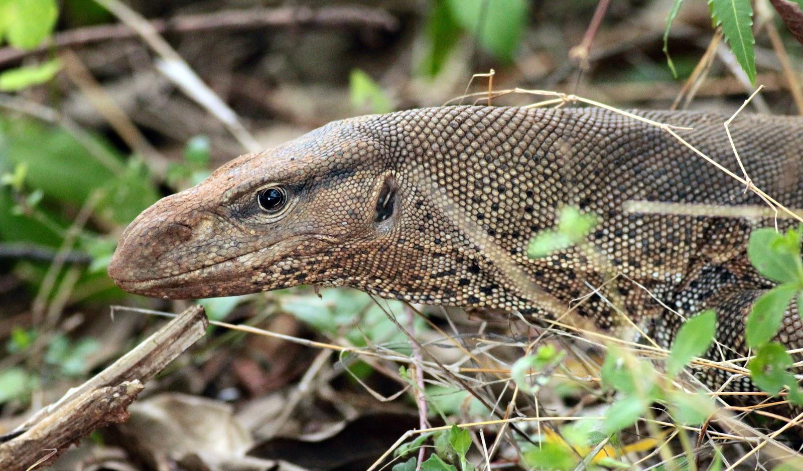 http://2.bp.blogspot.com/-fzTQDbObzjU/UQoYYOe1e8I/AAAAAAAADN4/ntGAhCuncn8/s1600/Monitor+Lizard-images-03.jpg
