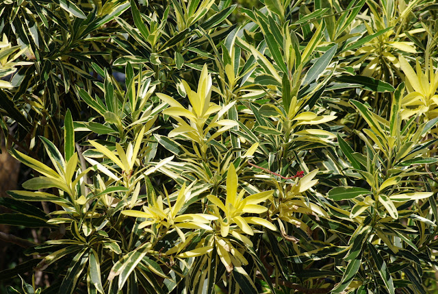 Nerium oleander Variegata - variegated oleander