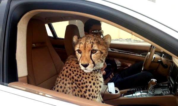 Di Dubai Kamu Akan Melihat Orang Memelihara Binatang Liar
