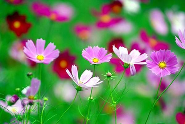 Hoa cánh bướm, loài hoa mỏng manh như Thiên Bình