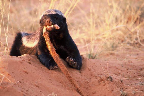 honey badger lion. honey badger lion. honey