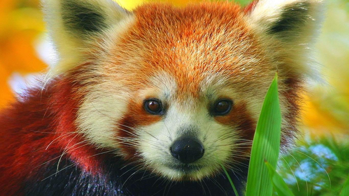 40 Adorable red panda pictures (40 pics), red panda wallpaper