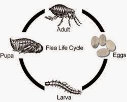 Xenopsylla Cheopis Life Cycle MPD3223 - Vecto...