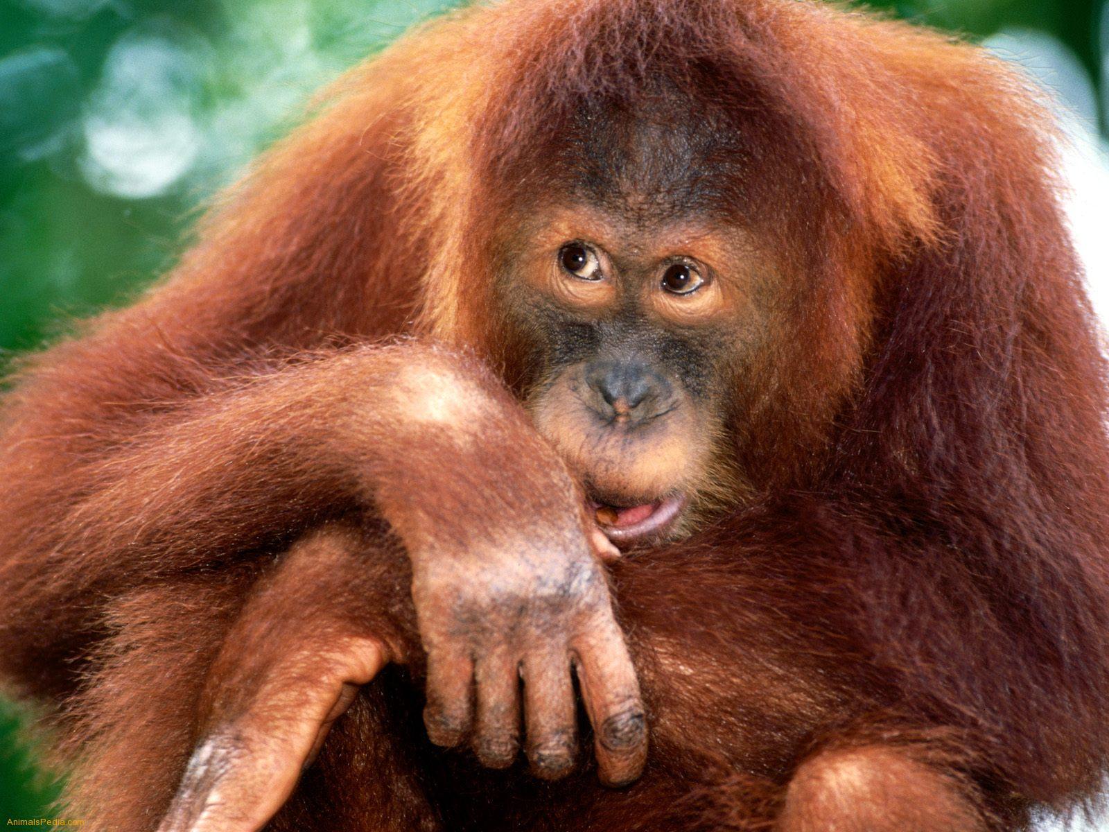 Sumatran Orangutan Baby From encyclopedia of babies of