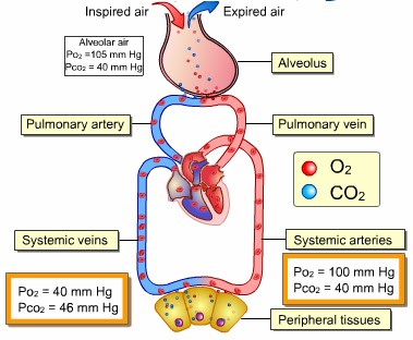 gas exchange in mammals One of the principal functions of the respiratory system in mammals is gas  exchange to accomplish this task requires the presence of a.