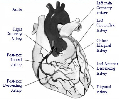 List Of Synonyms And Antonyms Of The Word Heart Arteries Diagram