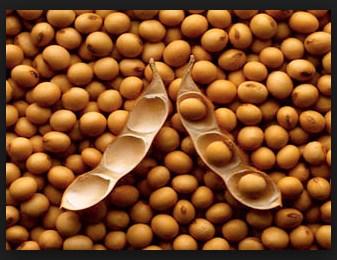 Sejarah Biologi Klasifikasi Dan Morfologi Tanaman Kacang Kedelai Glycine Max L