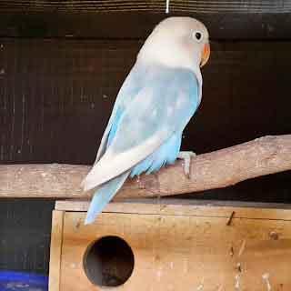 Lovebird Pastel Biru - Aneka Jenis Burung Lovebird