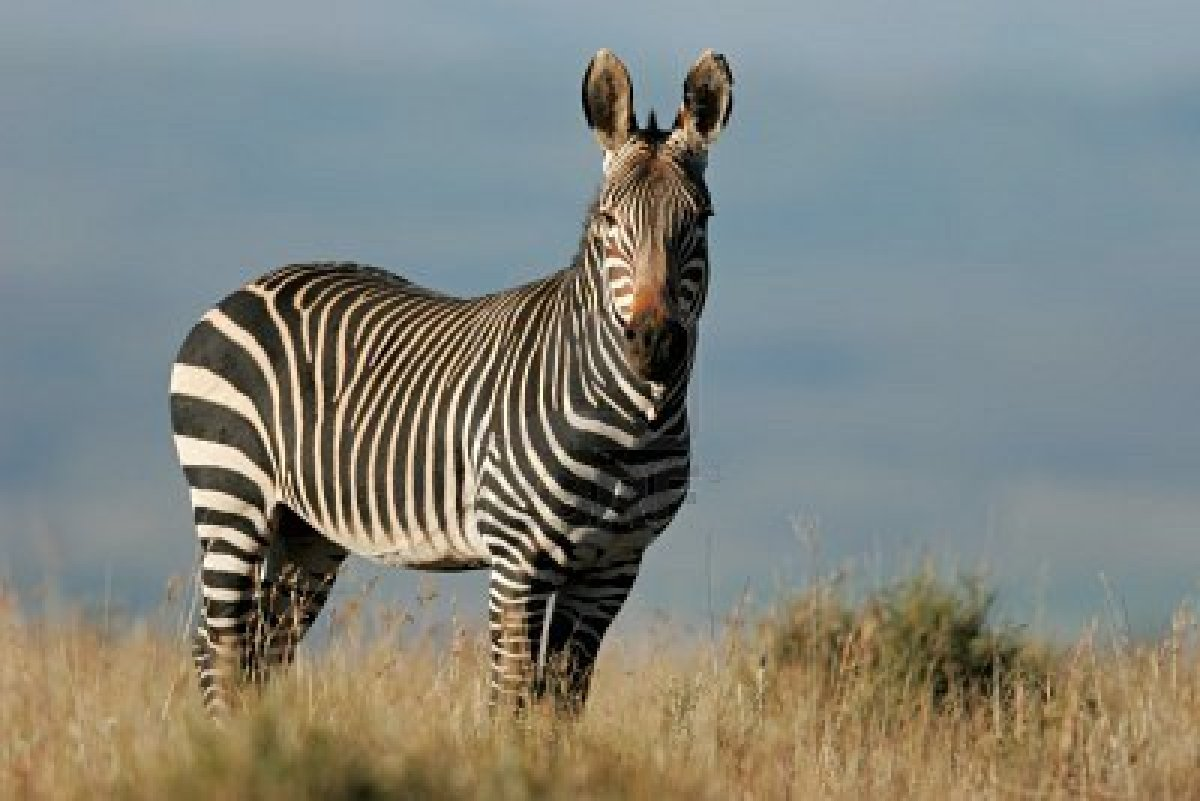 mountain zebra the life of animals. Black Bedroom Furniture Sets. Home Design Ideas