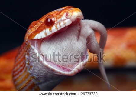 Snakes: Snakes Eating Mice